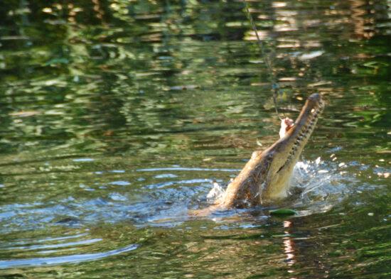 Krokodil in de rivier achter de camping