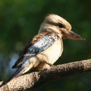 Kookaburra op de camping