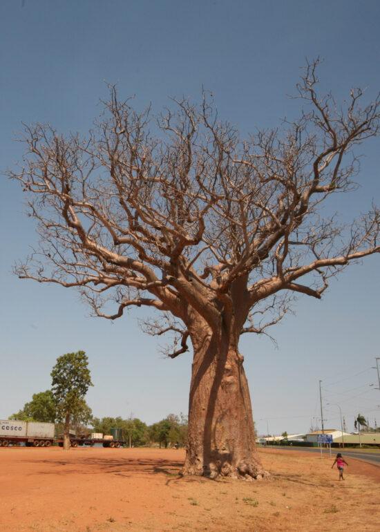 Baobap tree