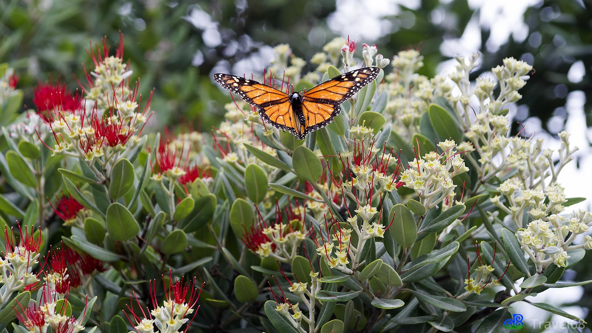 Monarch vlinder op een Pohutukawa