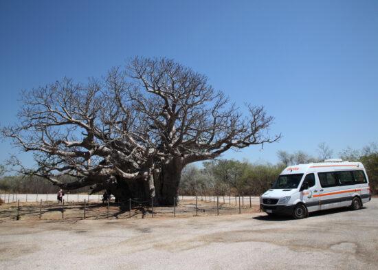 De dikke baobab bij de Boab tree parking