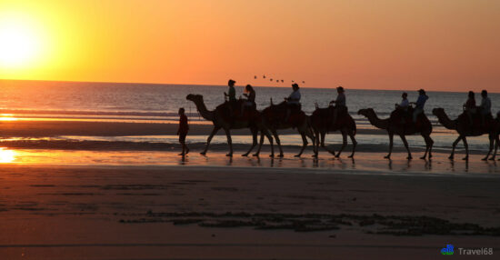 De eerste groep kamelen in aantocht