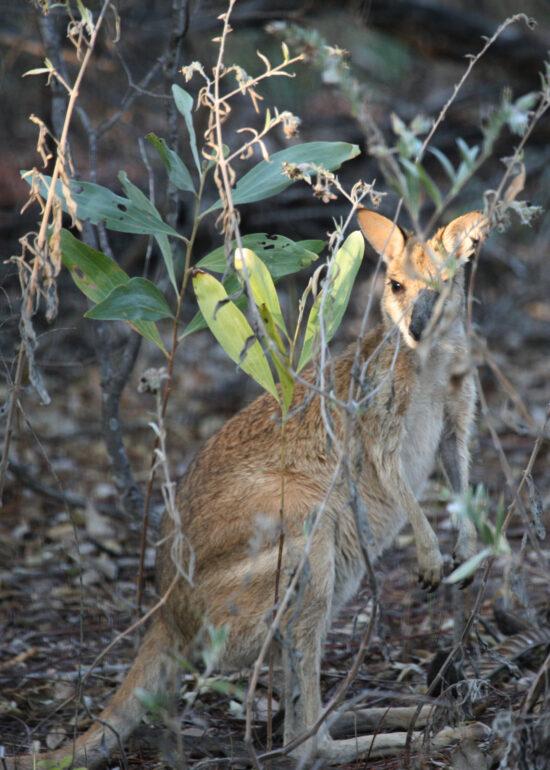 Een kangeroo