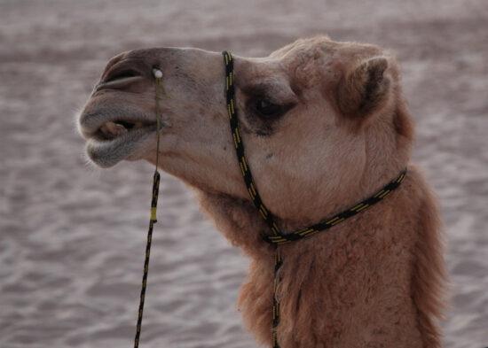 Zelfs een kameel kan vriendelijk kijken