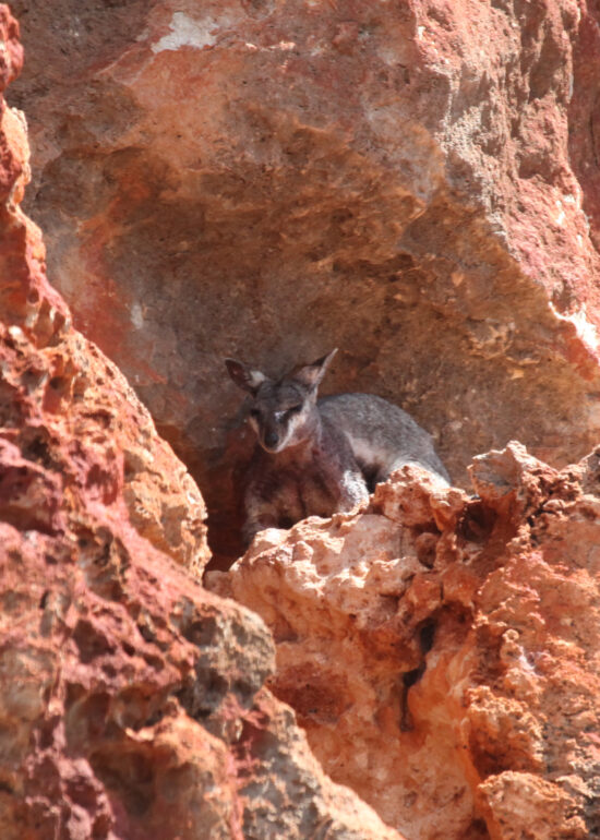 Rock Wallaby bij Yardie Creek