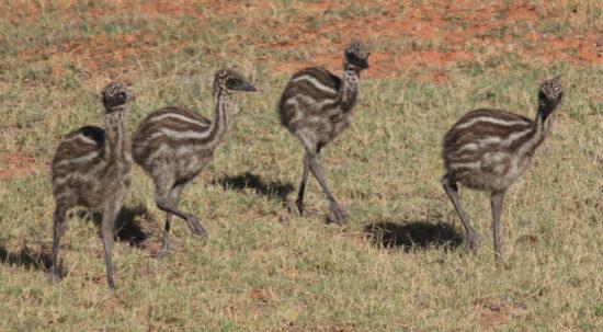 Exmouth: jonge emu's