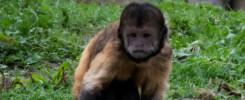Geelborst capucijnaap