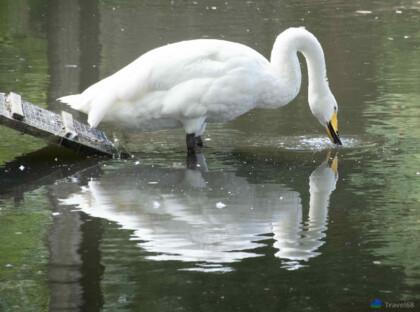 Een mooi voorbeeld van hoe moet je een zwaan fotograferen