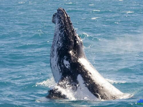Hervey Bay Whale Watch
