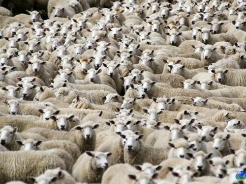 Nu heel schapen op een kluitje